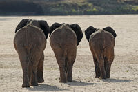Three Elephants (Loxodonta africana).