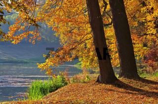 Eiche im Herbst - Oak tree in fall 08