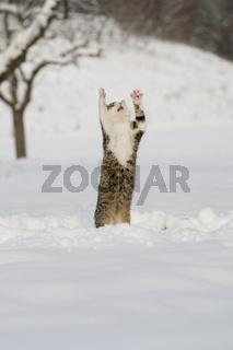 Katze stehend auf Hinterbeienen im Schnee, Cat standing of hind leg in snow