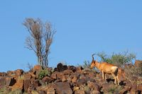 Red hartebeest landscape