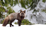 A Silver Phase Red Fox (Vulpes vulpes)