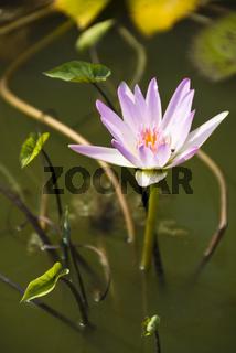 Lotusblueten
