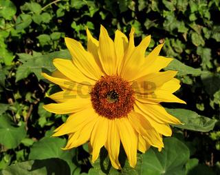 Sonnenblume in sattem Gelb