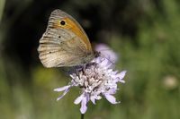 on Scabious flower