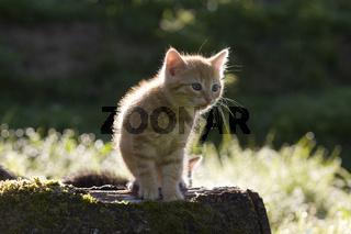 Katze, Kaetzchen im Gegenlicht, Cat, kitten in the back-light