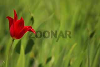 Einsame Tulpe