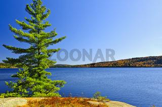 Pine tree at lake shore