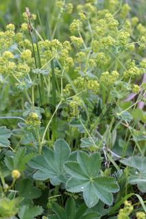 Frauenmantel, Lady's Mantle, Alchemilla vulgaris