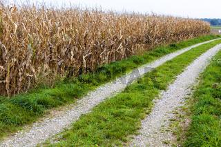 Weg neben einem Maisfeld