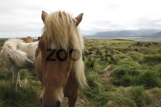 Icelandic horses. Stafafell farm