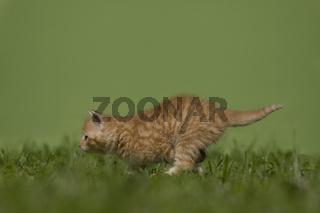 Katze, Kaetzchen gehend, rennend auf Wiese, Cat, kitten walking, running on a meadow