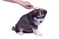 Husky Welpe bei Fellpflege