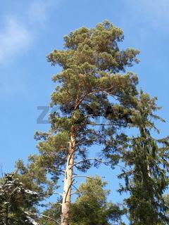 Kiefer, Waldkiefer, Föhre / Pinus sylvestris