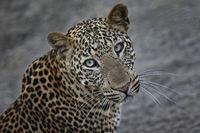 Leopard, Panthera pardus, Zambia, Southern Africa