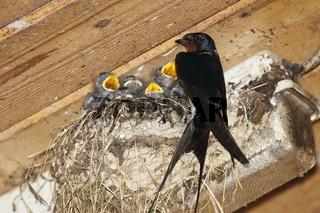 Rauchschwalbe am Nest