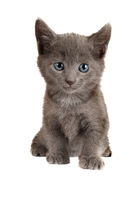Blue Eyed Grey Kitten on White