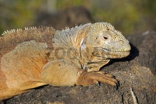 Drusenkopf (Conolophus subcristatus),Galapagos Landleguan , Unte
