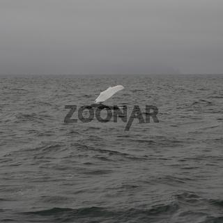 Humpback whale (Megaptera novaeangliae) showing a flipper. Whale-watching tour on the Skjálfandi Bay near Húsavík