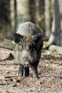 Wildschwein, Keiler