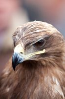Head of an alert hawk, closeup portrait