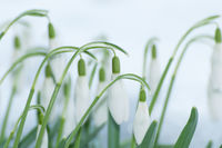 Blooming snowdrops in snow in early spring. Back l