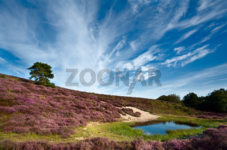 dunes and meadows with flowering Calluna vulgaris