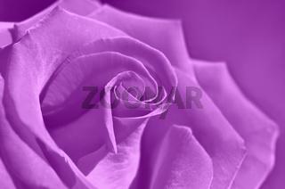 Rose Lila