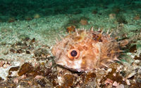 burrfish, pufferfish