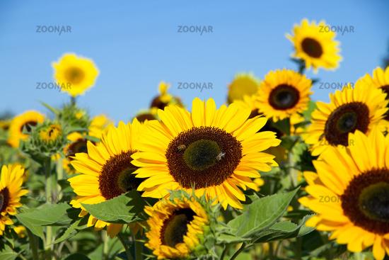 Sunflowers 008