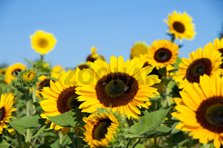 Sonnenblumen 008