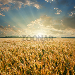 wheat field on sunset