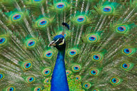 Indian Peafowl or Blue Peafowl (Pavo cristatus)