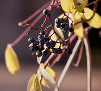 withered bunch of grapes in a sun