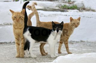 Drei Hauskatzen nebeneinander, Kykladen , three cats side by side , cyclades