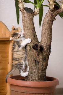 Katze / Kaetzchen klettert auf Zimmerpflanze, Cat / kitten climbs on indoor plant
