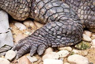 Crocodile's foot