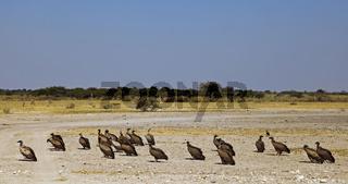 Weißrückengeier, white-backed vultures, gyps africanus, Botswana, Botsuana,  central kalahari game reserve