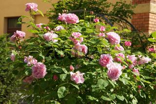 Rosa Constance Spry, Englische Rose, Hochstamm