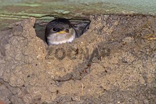 Mehlschwalben / Delichon urbicum