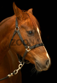 Portrait of a horse on a black background.