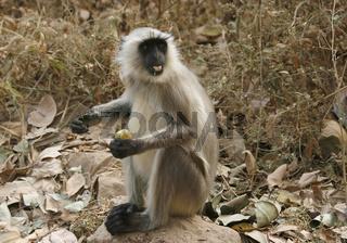 Hanuman-Langur in Rajasthan