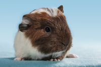 cute guinea pig baby