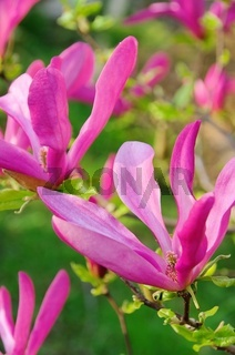 Magnolie - magnolia 21