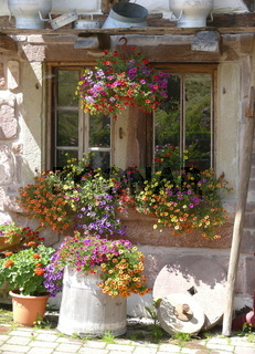 Petunien blühend am Fenster
