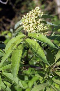 Sambucus racemosa, Red Elderberry, Traubenholunder, Roter Holunder
