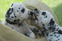 Two Dalmatian puppies, four weeks old side by side