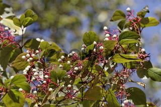 Cornus racemosa, Hartriegel mit Beeren im Herbst
