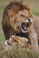 Mating lions.