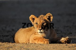 African lion cub