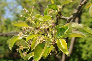 Pyrus communis, Birne, Pear, Befruchtung